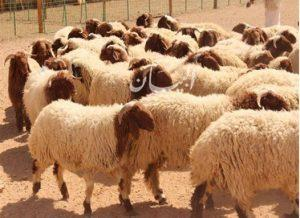 الزراعة: بدء حجز أضاحي العيد من قطاع الإنتاج